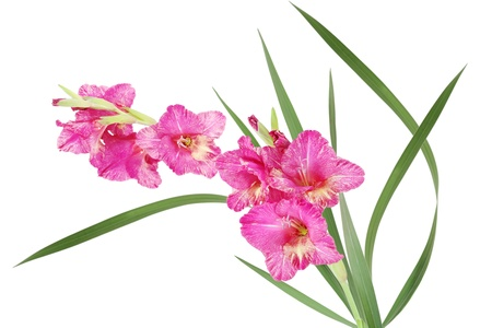 Bicolor pink and yellow gladiolus flower isolated on white