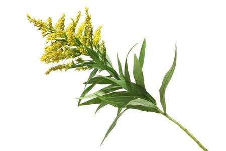 fever plant: Solidago canadensis Goldenrod flower