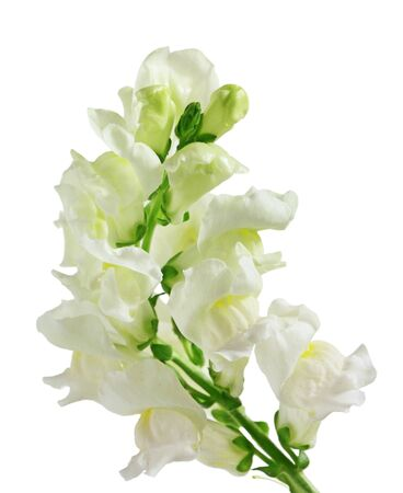 floral arrangements: Snapdragon (Antirrhinum) flowers isolated on white Stock Photo