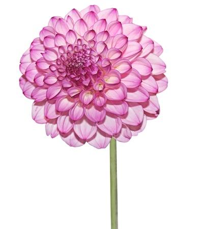 ダリアの花の白い背景で隔離のピンクします。