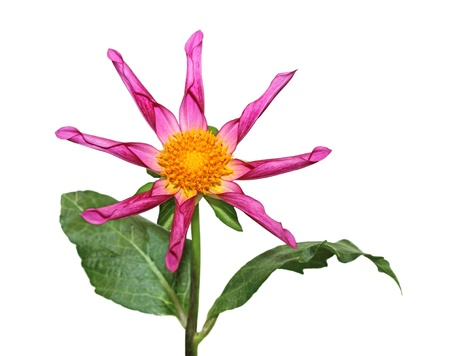 Fresh Dahlia flower in pink isolated on white