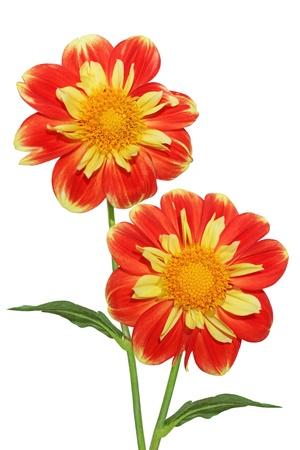 달리아: 흰색에 고립 된 두 신선한 달리아 꽃