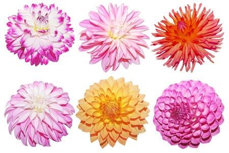 Collection of fresh dahlia flower heads isolated on white Stock Photo - 11163434