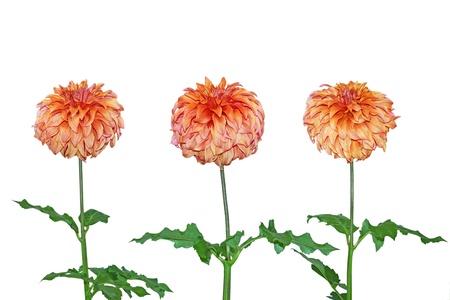 Three Dahlia flower plants isolated on white Stock Photo - 11163433