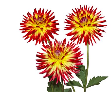 Three Red Dahlia flower plant isolated on white Stock Photo - 11279504