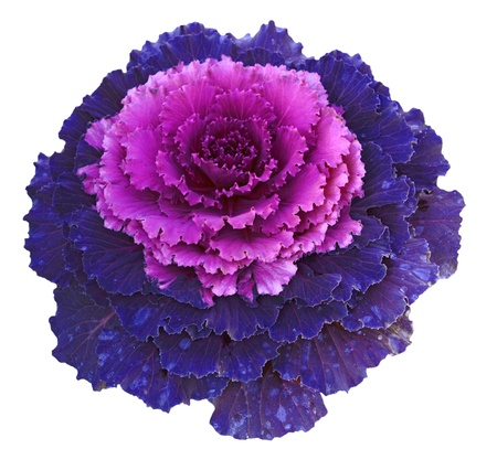 flowering kale: Purple pink decorative cabbage isolated on white background Stock Photo