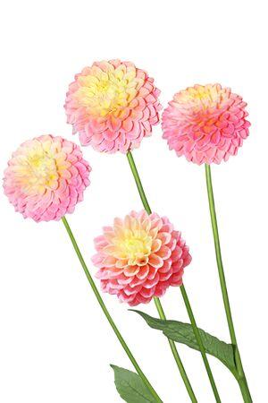 pfingstrosen: Vier rosa gelbe Dahlie Blumen auf weiß isoliert Lizenzfreie Bilder