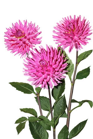 Pink Dahlia flower plant isolated on white