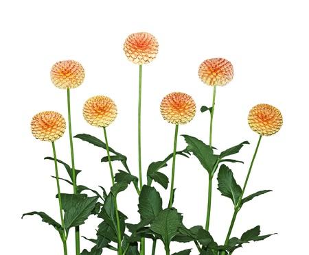 dalia: Siete amarillo, rojo, planta de flor de dalia aislado en blanco