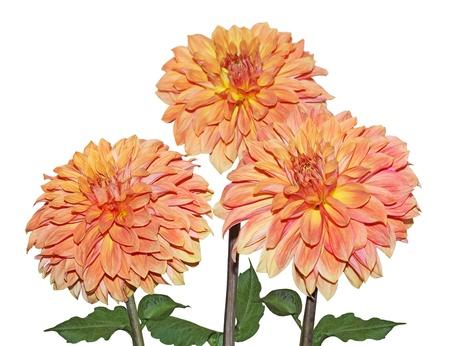 Three Yellow Orange Dahlia flowers isolated on white Stock Photo - 11548693