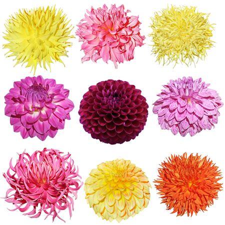 Set of dahlia flower heads isolated on white