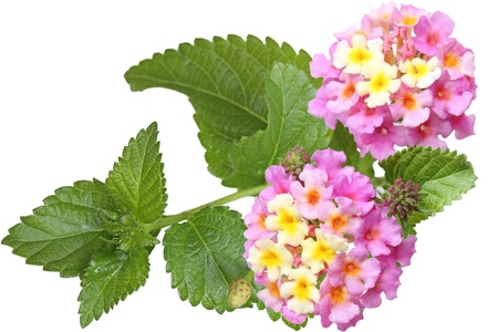 Fresh lantana flower isolated on white photo