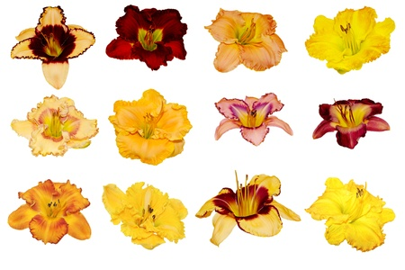 Collection of twelve daylily heads isolated on white Reklamní fotografie