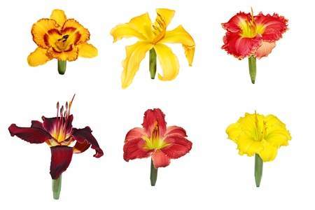 Set of six day lily flower heads displaying,  isolated on white