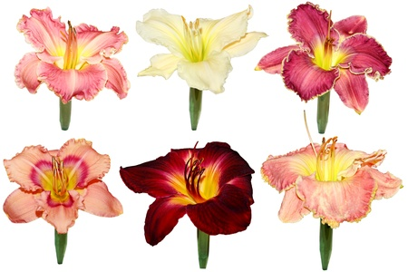 day lily: Six day lily flower heads displaying in tubes