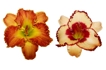 Two Daylily flower heads isolated on white