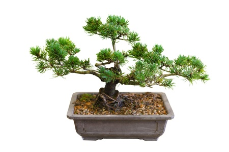 Mugo Pine Bonsai Tree isolated on white photo