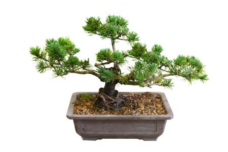 Mugo Pine Tree Bonsai aislado en blanco Foto de archivo - 11788058