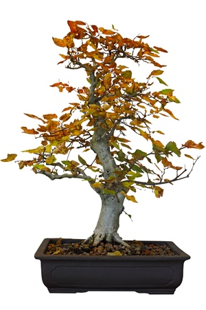 Autumn cottonwood bonsai tree isolated on white photo