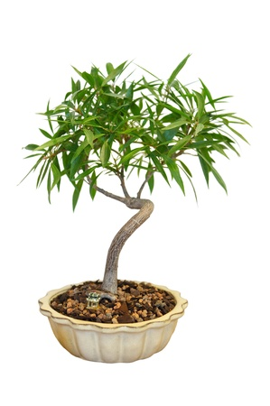 Bonsai Ficus Tree in the pot isolated on white photo