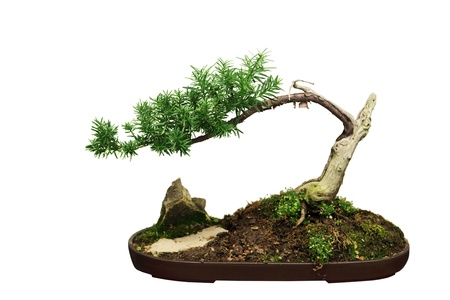 dwarfish: Bonsai Ficus tree isolated on white background