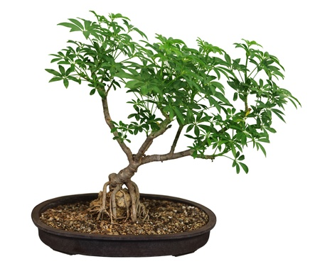 Bonsai Ficus tree over white background photo