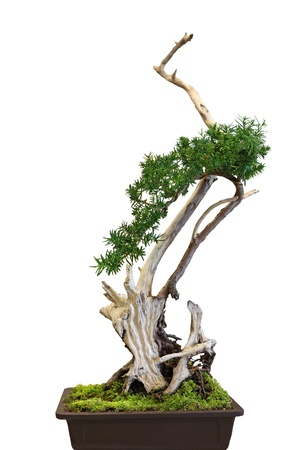 dwarfish: Ficus Bonsai isolated with pot over white  Stock Photo