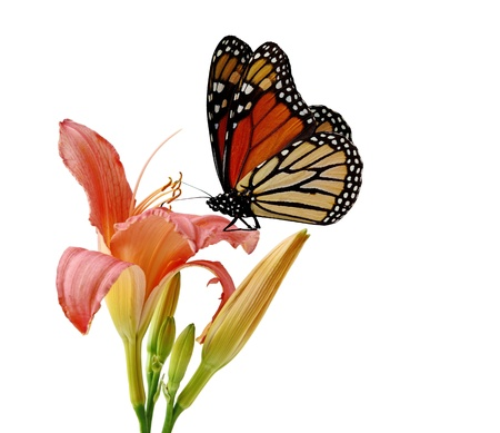 デイリリーと白で隔離される君主蝶