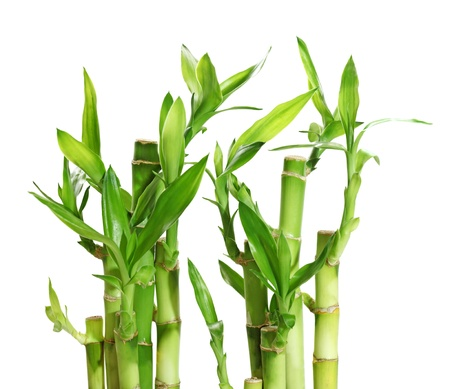 bamboo tree: Lucky bamboo plant in a row isolated on white