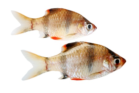Two Tiger fishes isolated on white background Stock Photo - 11916809