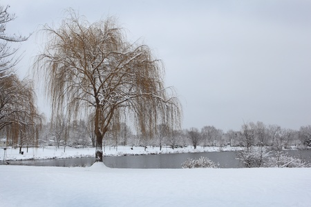 Willow tree in the park by the lake, winter time photo