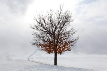 arboles blanco y negro: Lone Maple árbol en la nieve, invierno Foto de archivo