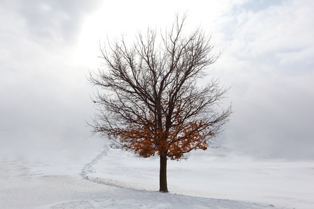 Lone Maple tree in snow, winter time photo