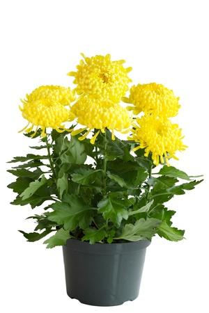 黄色のポットに巻き毛の菊の花植物