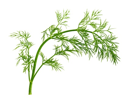 potherb: Fresh fennel leaf isolated on white background