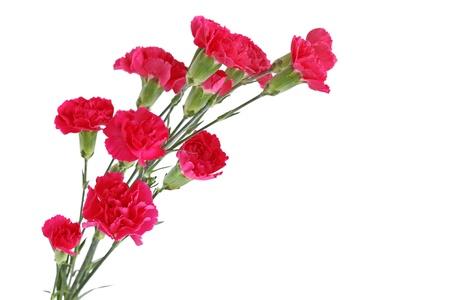 白で隔離される赤いカーネーション ダイアンサス持ちの優れる花