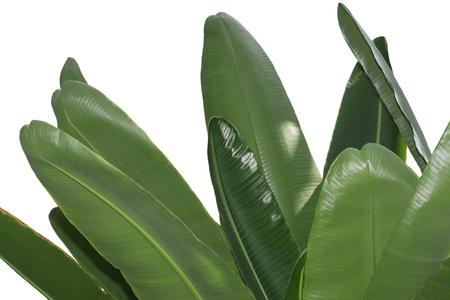 Bundle of fresh banana leaves isolated on white