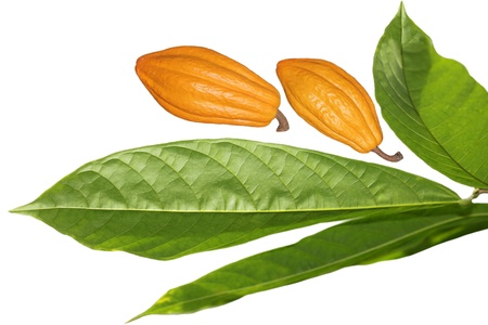 cocoa fruit: Fresh cocoa cacao bean fruit and leaves isolated on white background Stock Photo