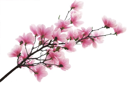 Pink magnolia blossom flower branch isolated on white photo