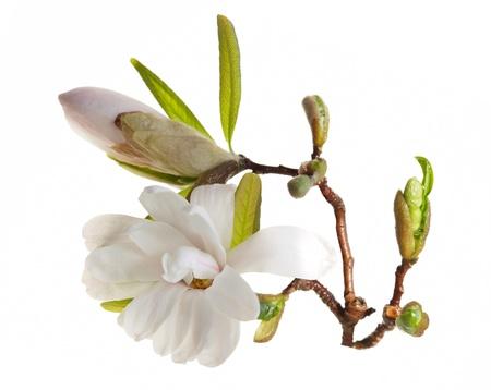 Magnolia blossom  isolated over white background