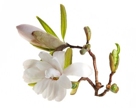 the magnolia: Magnolia blossom  isolated over white background
