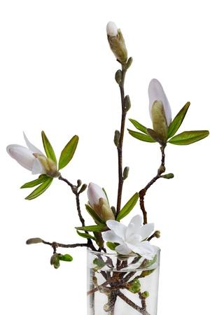 magnolia: Magnolia flowers isolated on white background