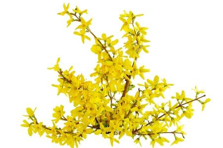 白で隔離される黄色のレンギョウ キバナフジステンド春の花 写真素材