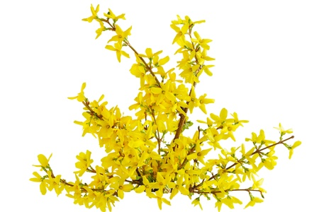 Yellow Forsythia Laburnum spring flower isolated on white