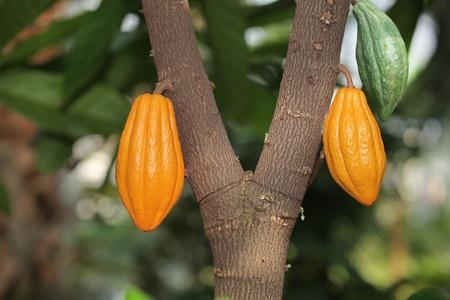 Cocoa cocao tree with theobroma pods photo