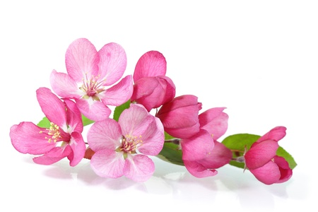 Red cherry blossom flower isolated on white Stock Photo