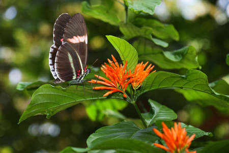 Postman Butterfly and Orange Flower in spring time