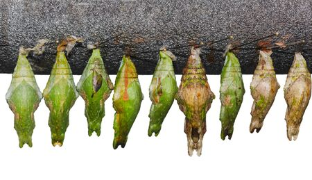 nympha: Set of  papilio memnon great mormon chrysalis pupa cocoon