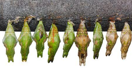 Set of  papilio memnon great mormon chrysalis pupa cocoon