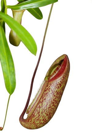 Trap flower  plant anatomy  nepenthes pitfall trap Monkey cups plant photo